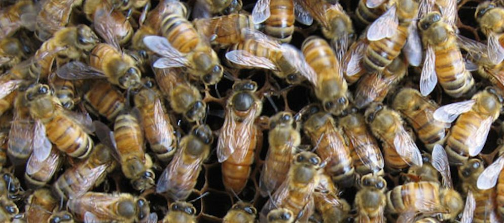 Virginia Tech researchers receive NSF grant to study the honey bee gut microbiome