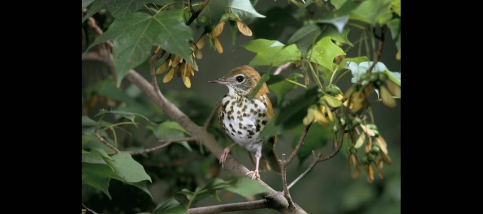 Declining baby songbirds need forests to survive drought, Virginia Tech and Smithsonian find